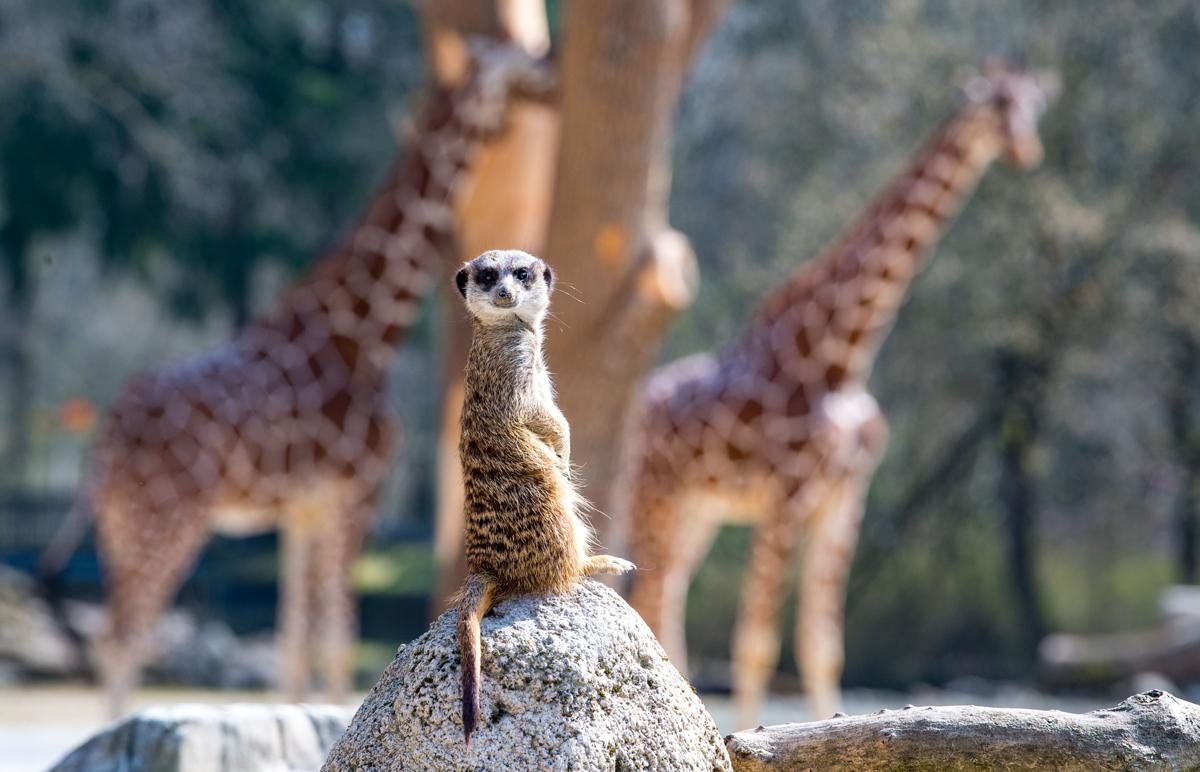 Erdmännchen und Giraffen